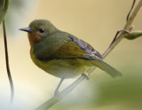 179 - Ruby-cheeked Sunbird -  female