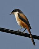 009 ::Long-tailed Shrike::