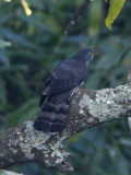 181 - Large Hawk Cuckoo