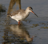 188 - Spotted Redshank