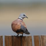 168 - Red-collared Dove (male)