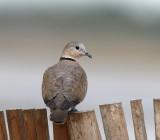 168 - Red-collared Dove (female)