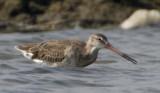 193 - Black-tailed Godwit