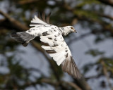 081 - Rock Pigeon