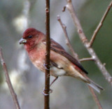 :: 147 - Common Rosefinch::