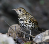 ::Thrushes:: (14)