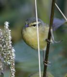 199 - Buff-throated Warbler