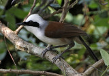 200 - White-crested Laughingthrush