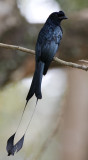201 - Greater Racket-tailed Drongo