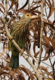 202 - Lineated Barbet