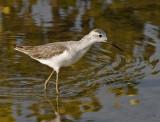 088 - Marsh Sandpiper