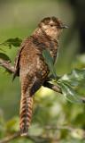 058 - Plaintive Cuckoo (female)