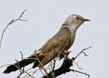 058 - Plaintive Cuckoo (male)
