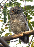 213 - Spotted Owlet