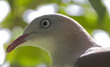 251 ::Mountain Imperial Pigeon::