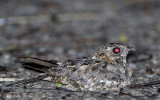 255 ::Indian Nightjar::