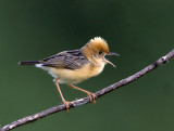 257 ::Bright-headed Cisticola::