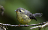 260 ::Yellow-bellied Fantail::