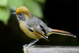 263 ::Chestnut-tailed Minla::