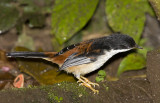 267 ::Rufous-backed Sibia::