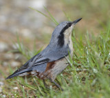 270 ::Chestnut-vented Nuthatch::