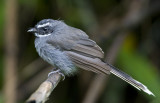 265 ::White-throated Fantail::