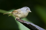 266 ::Grey-cheeked Fulvetta::