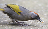 271 ::Chestnut-crowned Laughingthrush::