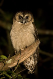 275 ::Brown Wood Owl::