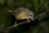 277 - Grey-throated Babbler