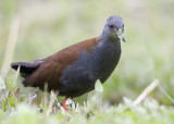 279 ::Black-tailed Crake::