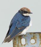 282 ::Wire-tailed Swallow::