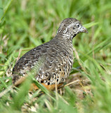 283 - Barred Buttonquail