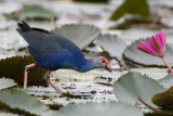 292 ::Purple Swamphen::