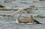 293 ::Spot-billed Pelican::