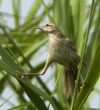 296 - Striated Grassbird