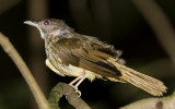 Unknown Bulbul, southern Thailand