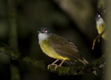 321 ::Yellow-bellied Bulbul::