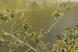 Umatilla River and wild rose hips