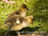 Bramshill goslings