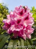 Rhodedendron bloom