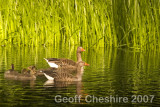 Geese on the small lake