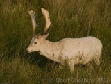 A Bramshill Stag