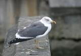 Lesser Black-backed Gull, Boston, December 2003