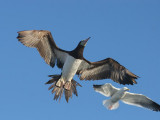 Brown Booby and Western Gull