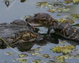 Alligator mother with baby  - HJ2K3510