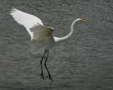 Great Egret - HJ2K3828