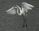 Great Egret - HJ2K3833
