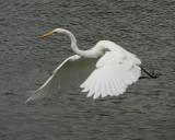 Great Egret - HJ2K3838
