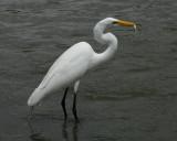 Great Egret - HJ2K3879